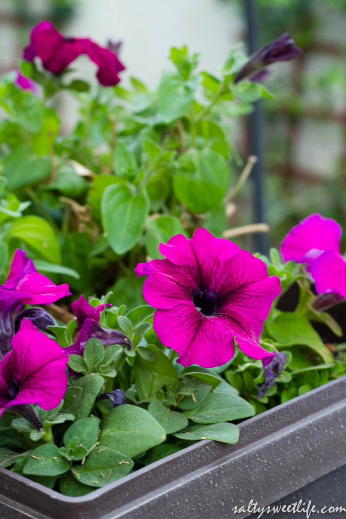 Petunias that were planted last year