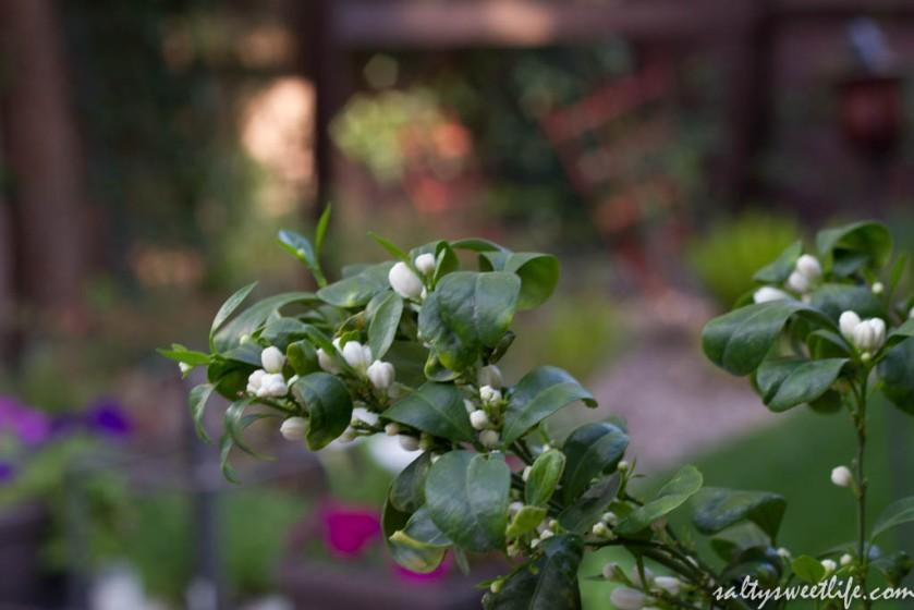 Calamondin Orange Blossoms (also called Calamansi Lime)