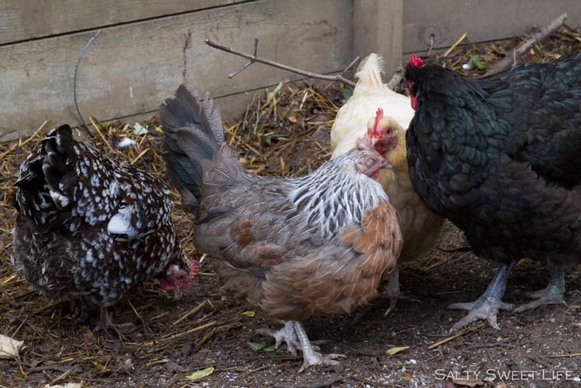 chickengarden-4